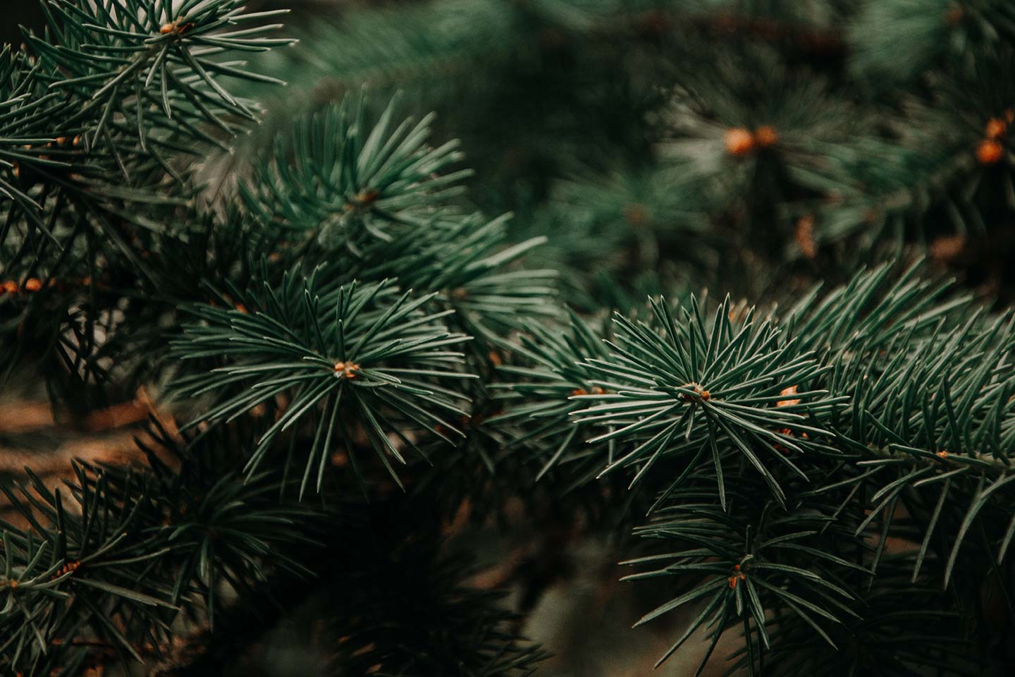 Christmas trees: Natural or artificial?
